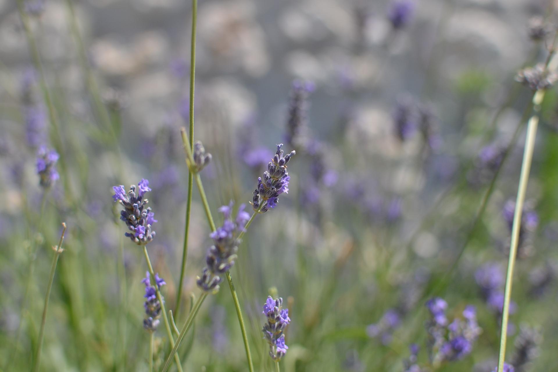lavender-2340882_1920